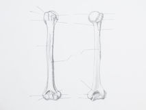 Humerus pencil drawing. Detail of humerus pencil drawing on white paper royalty free stock image