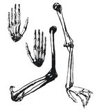 Humerus, ulna and hand bones Royalty Free Stock Photography