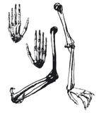 Humerus, ulna and hand bones. Hand drawn humerus, ulna and hand bones Royalty Free Stock Photography