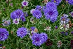Humeur d'été : fleurs bleues lumineuses sur un fond de feuillage vert Image stock