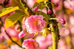 Humeur de ressort pour épouser avec la fleur de cerise pendant le lever de soleil Photographie stock libre de droits