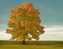 Humeurige Esdoornboom bij Zonsondergang Stock Afbeelding
