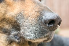 Humid dog nose of a shepherd dog as a sensitive sensory organ with great sense of smell royalty free stock photo