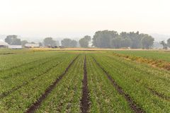 Humid Farm Landscape. Humid summer landscape with rows of farm crops Stock Photo