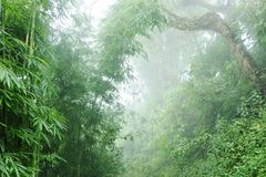 The humid jungle in the mountains. Vegetation in the humid jungle in the Himalayas, with bamboo thickets and tonal perspective Royalty Free Stock Photos