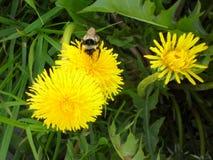 Humilde-abeja en el diente de león foto de archivo