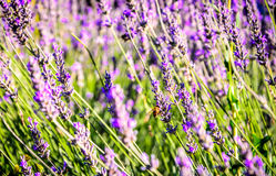 Humilde-abeja en un campo del cierre borroso flores del fondo del lavander para arriba Fotografía de archivo libre de regalías