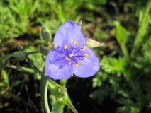 Humilis Rose de Texas Spiderwort Flower Tradescantia images libres de droits