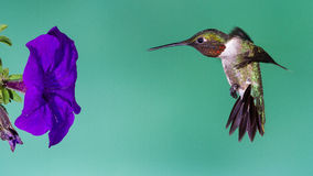 Humingbird Breaking. A hummingbird aligning himself to the flower Stock Photo