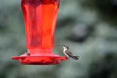 Humingbird throated rouge Image libre de droits