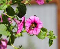 Humla i blomma Royaltyfri Foto
