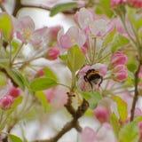 Humla i blomma för äppleträd arkivfoto