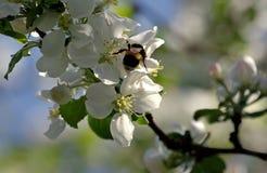 Humla i blomma för äppleträd Royaltyfri Bild