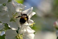 Humla i blommor för äppleträd Arkivbilder