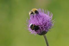 humla Mat i form av nektar pollen Royaltyfria Bilder