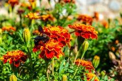 Humla och blommorna arkivfoto
