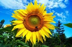 Humla och ett bi som samlar pollen på en stor solros Royaltyfri Fotografi