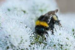 Humla och pollen Fotografering för Bildbyråer