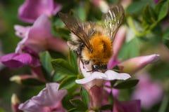 Humla på blomman Royaltyfri Fotografi
