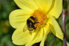 Humla på blommaträdgård royaltyfria bilder
