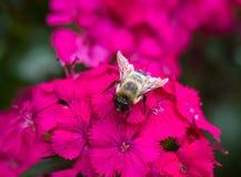 Humla på blommor Arkivfoto