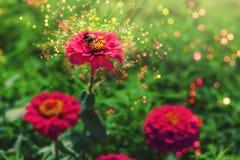Humla på blommor Arkivfoton