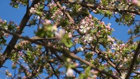 Humla på blommor av blomningträdet stock video