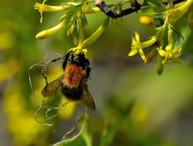 Humla på de gula blommorna Arkivbild