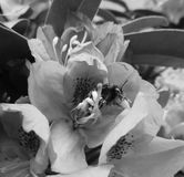 Humla på den blommande blomman som är svartvit Arkivfoto