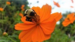Humla på den orange blomman i den Ralston arboretumen, Raleigh Arkivfoton