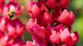 Humla på den röda lupine blomman