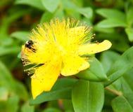 Humla på den stora gula blomman Royaltyfria Bilder