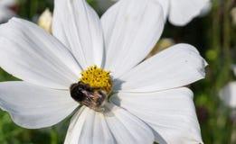 Humla på den vita blomman på sommar natur flora Royaltyfri Foto