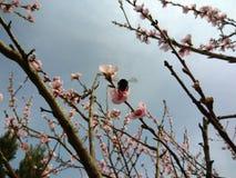 Humla på en blomma för äppleträd fotografering för bildbyråer