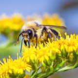 Humla på en gul blomma Arkivfoton