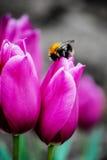 Humla på en härlig blomma Arkivfoton