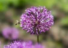 Humla på en lila blomma Fotografering för Bildbyråer