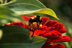 Humla på en röd blomma Arkivbild