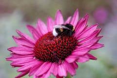 Humla på en rosa blomma Fotografering för Bildbyråer
