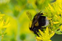 Humla på en slumpmässig gul blomma Royaltyfri Foto