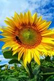 Humla på en stor blomningsolros Royaltyfri Fotografi