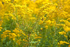 Humla på goldenrod Royaltyfria Bilder