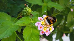 Humla på LantanaCamara Flowers 11 ultrarapid