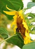 Humla på solrosen Royaltyfri Fotografi
