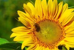Humla på solrosen Royaltyfri Foto