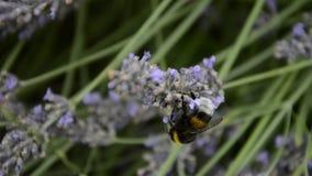 Humla som pollinerar blommor av lavendel i sommaren Humlafluga i örter lager videofilmer