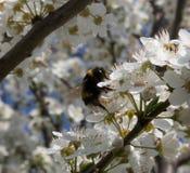 Humla som pollinerar en mirabelleblomma Royaltyfria Foton