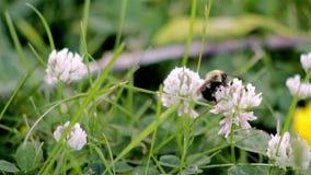 Humla som pollinerar en vit kaprifol arkivfilmer