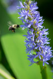 Humla som pollinerar pickerelweeden Arkivfoto