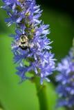 Humla som pollinerar pickerelweeden Arkivbild